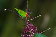 Bay-headed tanager (Tangara gyrola) shows incredible irridescence. Trinidad