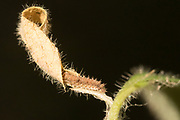 White admiral (Limenitis camilla) 3rd  instar larva entering hibernaculum on honeysuckle (Lonicera periclymenum). Sussex, UK.