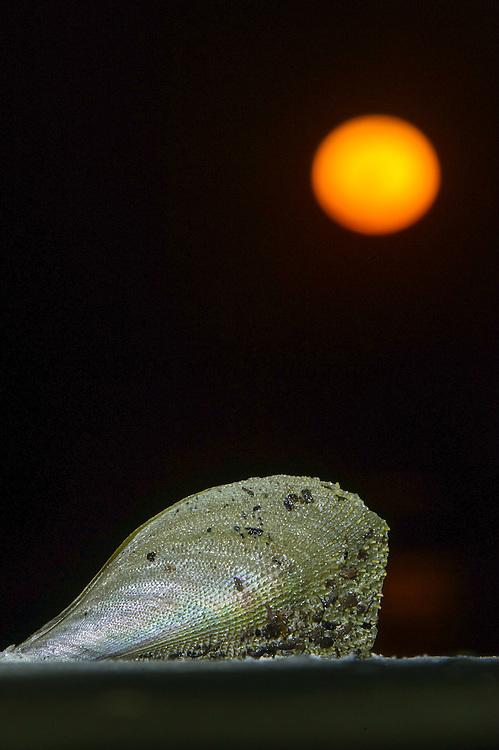 Bivalve Shell & Full Moon<br /> Little St Simon's Island, Barrier Islands, Georgia<br /> USA