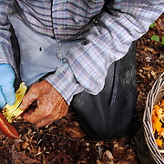 Woody Collins, of Sheldon, tosses an unwanted mushroom while out picking  Chanterelles with friend William Thorpe, not pictured, near Collins property on September 17, 2014.