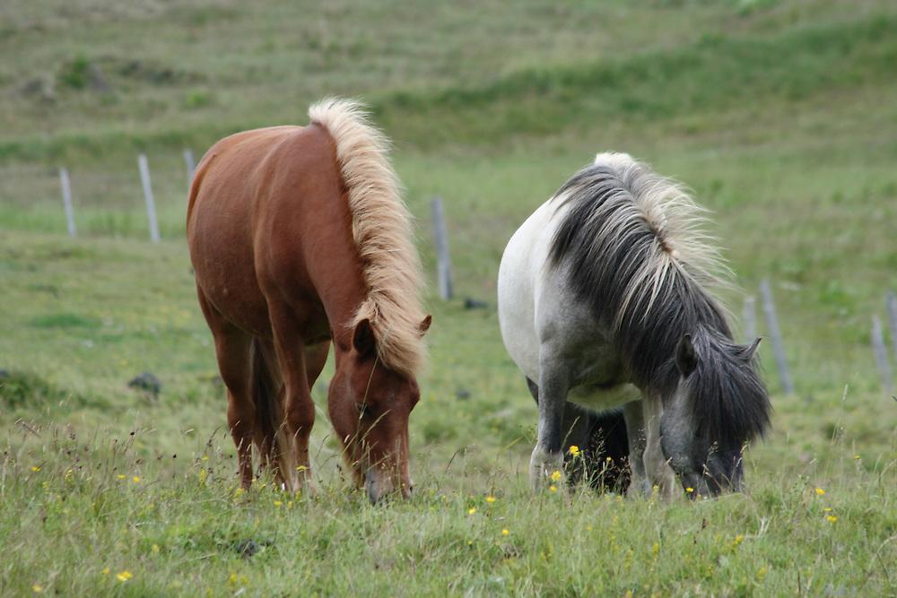 Icelandic horses graze on the island of Heimaey, Iceland