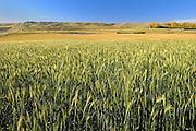 Triticale. Soft wheat<br /> Rosenhof<br /> Saskatchewan<br /> Canada