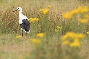 White stork (Ciconia ciconia) fledgling foraging on the ground. Sussex, UK.
