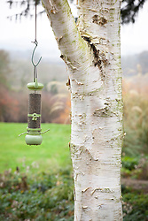Birdfeeder hanging from silver birch tree
