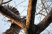 Parauapebas_PA, Brasil...Programa de Conservacao do Gaviao Real  (Harpia harpyja) na Floresta Nacional de Carajas, Para. Na foto voo do Gaviao Real...Preservation Program of the Harpy Eagle (Harpy harpyja) at the National Forest of Carajas, Para. In the photo the Gaviao Real flight...Foto: JOAO MARCOS ROSA / NITRO