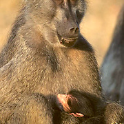 Chacma Baboon, (Papio ursinus)  portrait of female with young suckling at breast. Evening. Kruger National Park