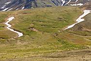 Caribou (Rangifer tarandus) foraging in Denali National Park in Interior Alaska. Summer. Afternoon.