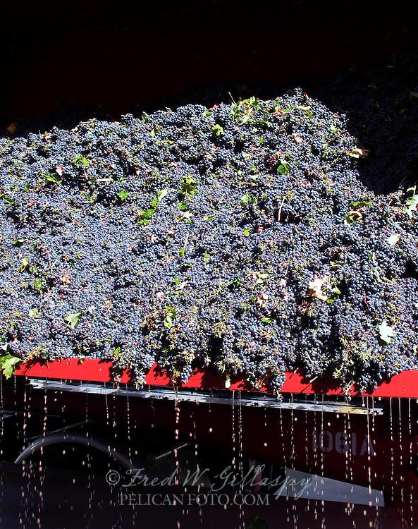 Wine Grape Harvest 0006