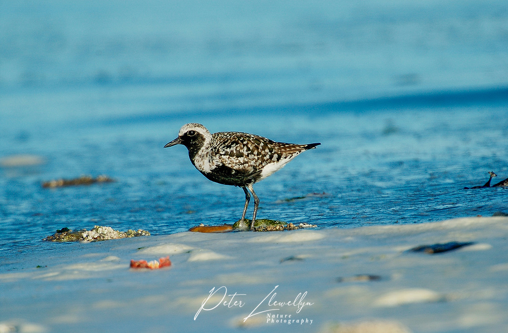 Pacific Golden-Plover (Pluvialis fulva), Oyster Bay nr. Cambell River, Vancouver Island, Canada   Photo: Peter Llewellyn