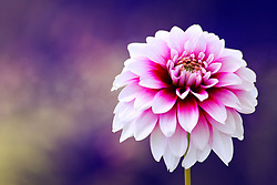 A White Dahlia with Pink and Purple Highlights Against a Backdrop of Deep Purple with Soft Evening Light