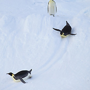 Emperor Penguin (Aptenodytes forsteri) adults sliding on the Riiser Larsen Ice Shelf in Antarctica.