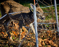 Young Deer inside the Electric Fence. Image taken with a Fuji X-H1 camera and 200 mm f/2 camera + 1.4x teleconverter (ISO 200, 280 mm, f/2.8, 1/1800 sec).