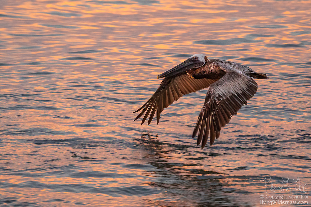 A brown pelican (Pelecanus occidentalis) flies low over Puerto Real off the coast of Esperanza on the island of Vieques, Puerto Rico, at sunrise. The brown pelican feeds mainly on fish and is one of only two types of pelicans that feed by diving head-first into the water.
