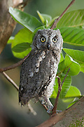 European Scops Owl (Otus scops) on a tree, Hefer valley, Israel