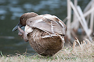 Hybrid Duck scratching near pond in Horseheads, NY