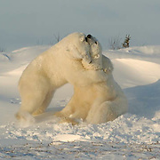 Polar Bear (Ursus maritimus) Two bears wrestle during a play fighting session along the shores of Hudson Bay, near Churchill, Manitoba, in November. Winter.