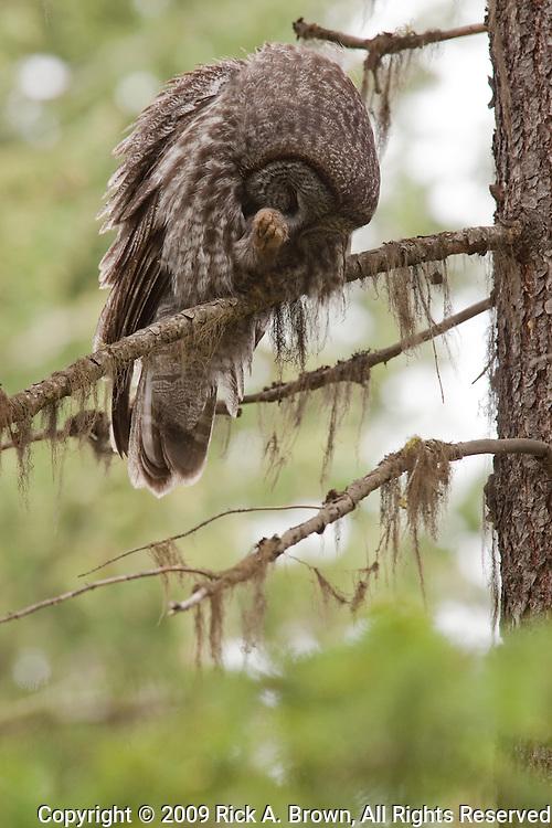 A Great Grey Owl (Strix nebulosa), preening OR.