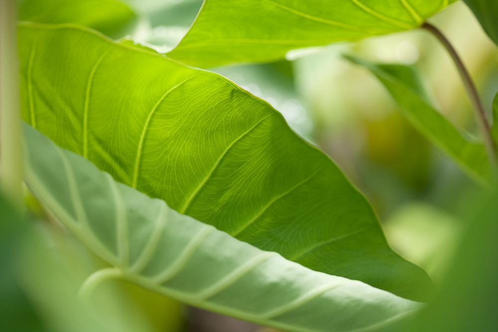 National Tropical Botanical Gardens, Kahanu, Hana, Kalo, Taro, Manini Kea