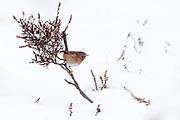 Dartford warbler (Sylvia undata) on snow covered heathland. Chobham Common, Surrey, UK.