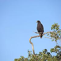 South America, Brazil, Pantanal. A Great Black Hawk of the Pantanal.