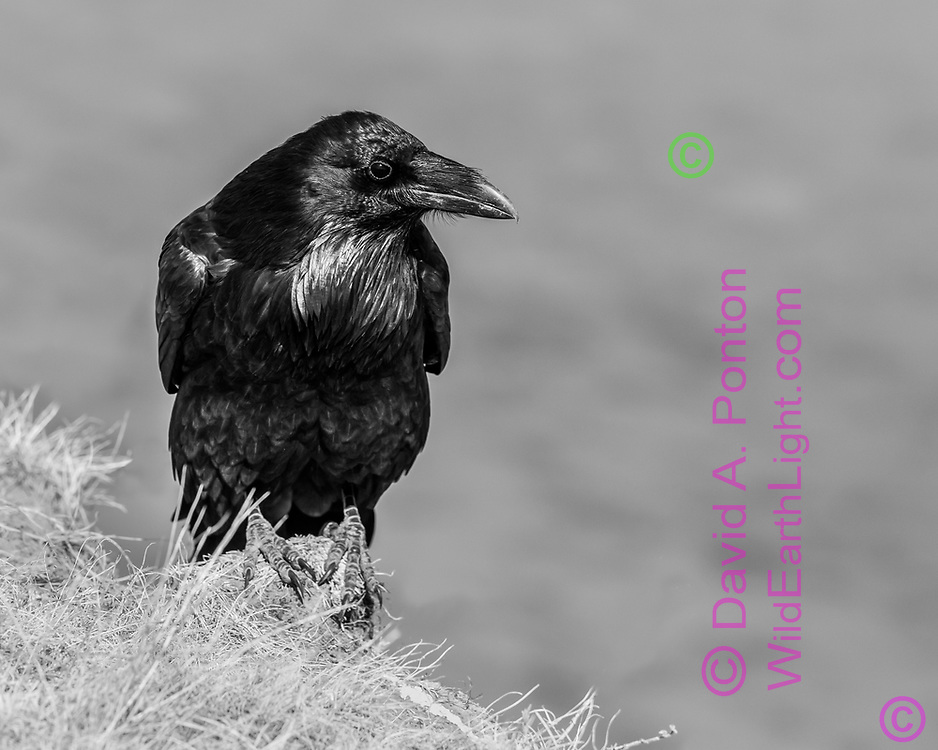 Raven perched on a rock on a high bank along the Yellowstone River, Yellowstone National Park, WY, © David A. Ponton
