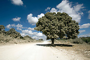 Quercus ithaburensis, the Mount Tabor oak, is a tree in the beech family. Photographed in Ramot Menashe, Israel