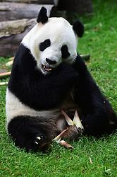 CHANGCHUN, Oct. 4, 2016 (Xinhua) -- Giant panda ''Meng Meng'' eats at the panda hall of Siberian Tiger Park in Changchun, northeast China's Jilin Province, Oct. 4, 2016. Giant pandas ''Meng Meng'' and ''Jia Jia'' attracted a large number of tourists during the National Day holiday. (Xinhua/Lin Hong)(mcg) (Credit Image: © Lin Hong/Xinhua via ZUMA Wire)