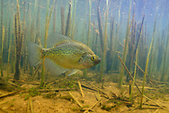 Black Crappie in Reeds<br /> <br /> Engbretson Underwater Photography