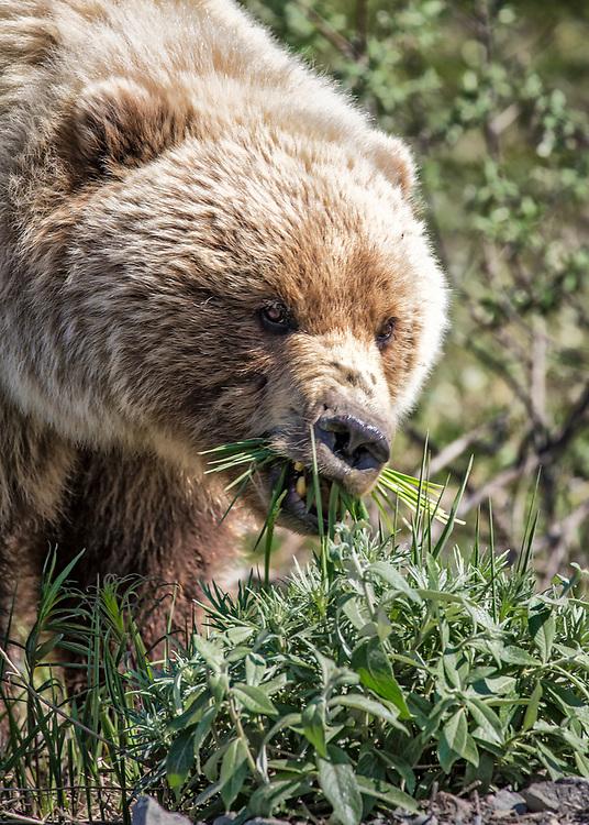 Alaska.  Close-up of an adult Brown Bear (Ursus arctos) feeding on vegetation in Denali National Park in June.