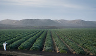 Rows of artichoke plants in a field, leading to the sand dunes of Monterey Bay, California