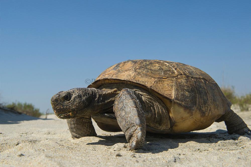 Gopher Tortoise (Gopherus polyphemus)<br /> The Orianne Indigo Snake Preserve<br /> Telfair County. Georgia<br /> USA<br /> Threatened species in Georgia<br /> HABITAT & RANGE: Longleaf pine & oak forests & sandhills & areas of good ground cover. Southeast USA
