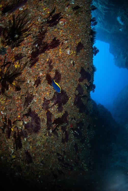 Kermadecs Marine Reserve, Gold-ribbon grouper, Aulacocephalus temmincki