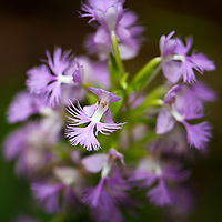 Native to the Northeast, this Purple Fringed Bog Orchid (Platanthera grandiflora) grows in rich to acidic wet soils, along small streams under shady forest cover of mixed cover types.