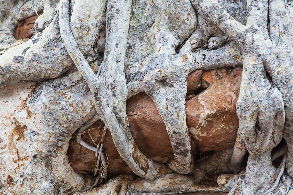 Tree roots growing on rocks in Mapungubwe National Park. South Africa.