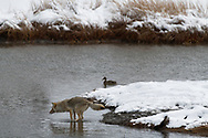 A coyote prepares to jump a stream while hunting along the Madison River, Yellowstone