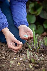 Protecting young emerging hostas using slug pellets applied sparingly