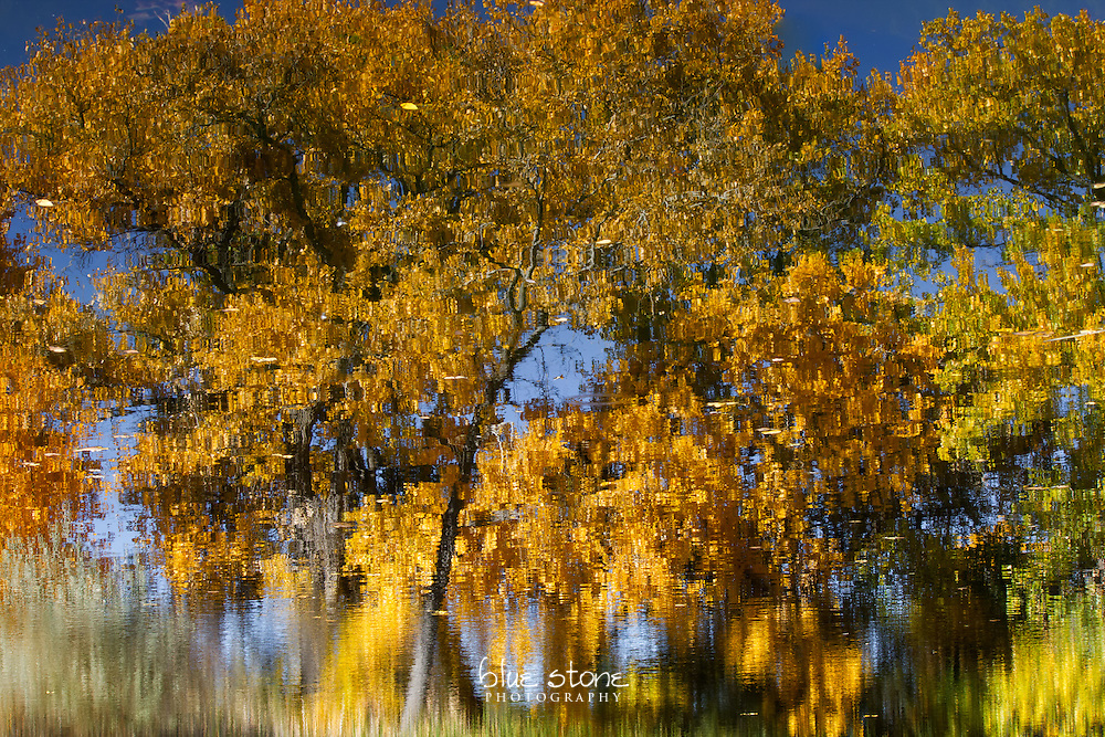 An autumn cottonwood tree revels in a moment of quiet reflection before winter arrives.<br /> <br /> Wall art is available in metal, canvas, float wrap and standout. Art prints are available in lustre, glossy, matte and metallic finishes.