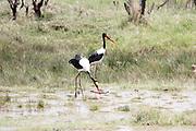 Africa, Tanzania, Lake Manyara National Park, two Saddle-billed Stork (Ephippiorhynchus senegalensis) wading in water