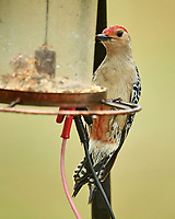 Red-bellied Woodpecker, Melanerpes carolinus). Image taken with a Nikon D5 camera and 600 mm f/4 VR telephoto lens.