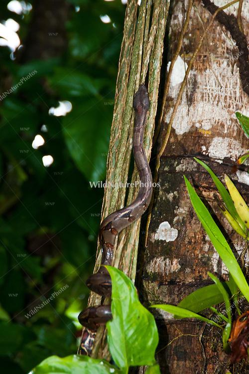 A Boa Constrictor (Boa constrictor) climbing the vines in the jungle to reach the canopy, Bocas del Toro, Colon Island, Panama