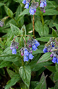 Mertensia paniculata - bluebells - in Denali National Park, Alaska. These beautiful flowers can be found all over Alaska, with their distinctive hanging heads and bell like petals.