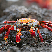 Close up of a Sally Lightfoot Crab on black lava rock near the shoreline at Gardiner Bay, Espanola Island, Galapagos, Ecuador.