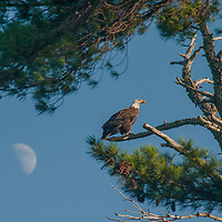 The moon hovers behind a Bald Eagle (Haliaeetus leucocephalus) perching in a white pine tree near Lake of the Woods, Ontario, Canada.