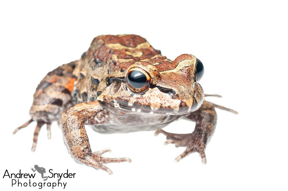 Leptodactylus sp., Kanuku Mountains, Guyana, July 2013