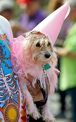 31 January 2016. New Orleans, Louisiana.<br /> Mardi Gras Dog Parade. A Terrier at the Mystic Krewe of Barkus as the parade winds its way around the French Quarter with dogs and their owners dressed up for this year's theme, 'From the Doghouse to the Whitehouse.' <br /> Photo©; Charlie Varley/varleypix.com
