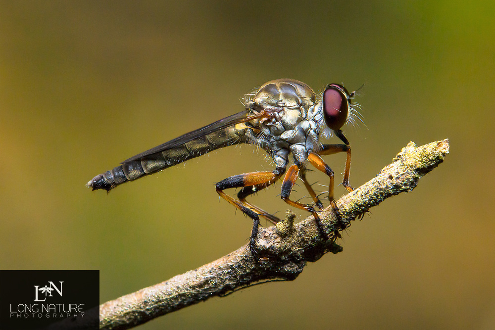 Ommatius floridensis - Robber fly, possibly O. gemma.