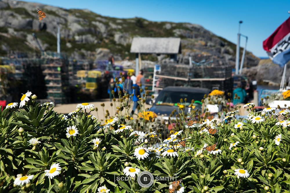 Adjancent to the dock on Monhegan Island, butterflies feed on wild flowers.