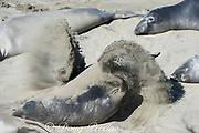 a northern elephant seal, Mirounga angustirostris, flips sand over its body to protect it from the sun while basking on the beach during its annual molt, Piedras Blancas, near San Simeon, California, United States ( Eastern Pacific Ocean )