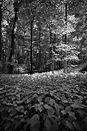 Sunlight is filtered through a canopy of leaves in the quiet forest of Johnson's Mound in Kane County, IL. It provides a natural sculpting of the sapling.