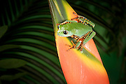A tiger-striped leaf frog about to jump from a colorful heliconia flower (sequence 1 0f 2). Range: South America, Surinam, Guyana, Brazil.